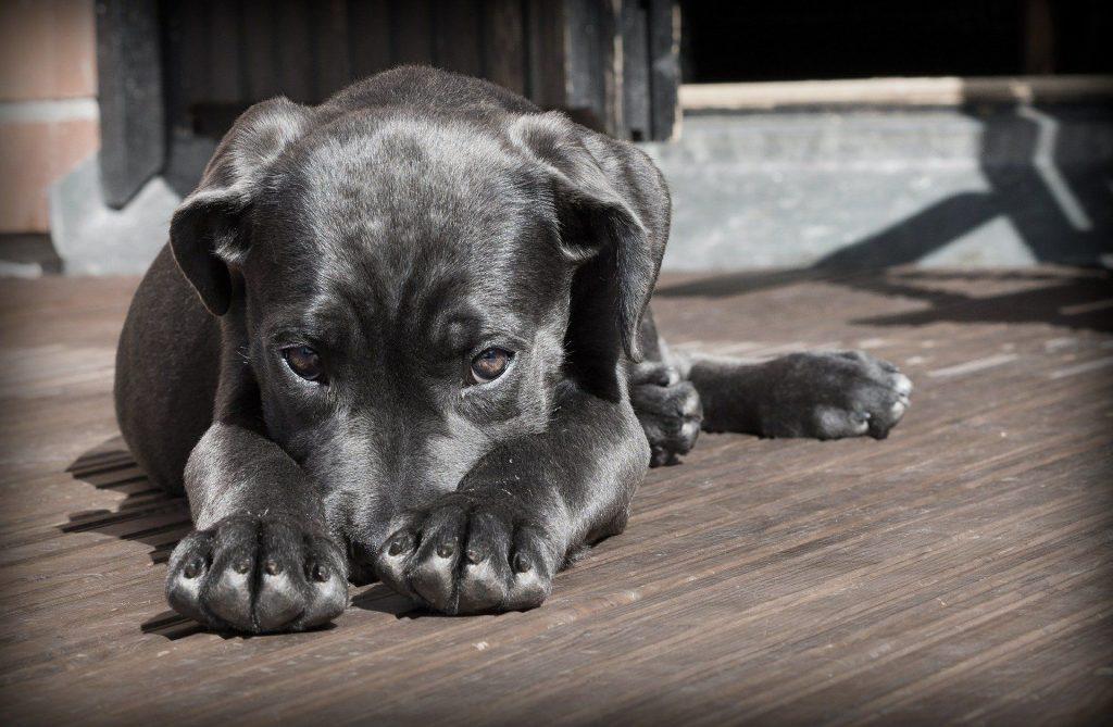 Conga sistema best friend para mascotas